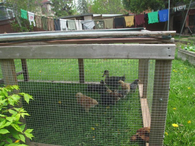 clothesline and chickens