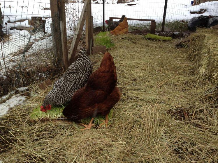 chickens 3