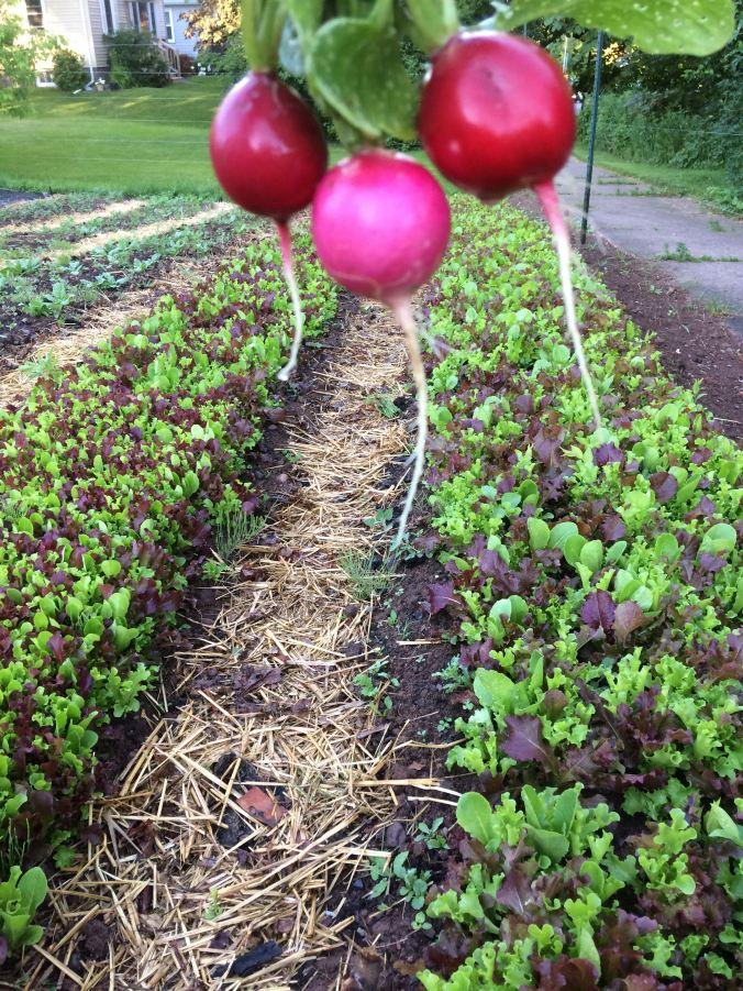 rad lettuce